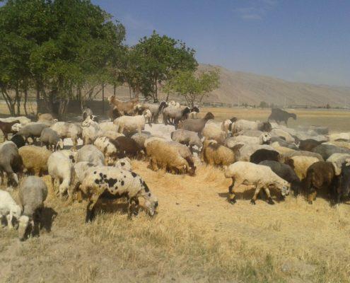 بیمه گوسفند داشتی